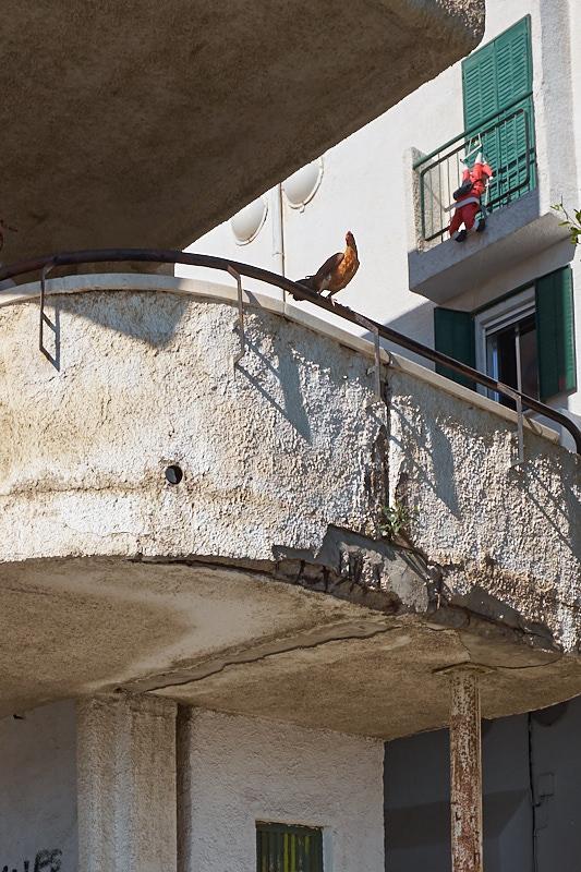Fotos del Puche [serie] El gallo