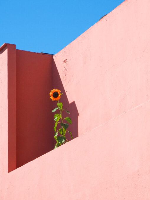 Girasol en una terraza de Cabo de Gata